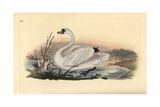 Mute Swan, Cygnus Olor, with Chicks Giclee Print by Edward Donovan