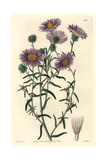 Ashy Tansy-Aster, Dieteria Canescens Var Incana Giclee Print by Sarah Drake