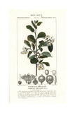 Styrax, Styrax Officinalis Giclee Print by Pierre Turpin