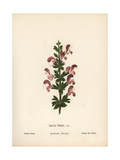 Indian Sage, Salvia Indica Giclee Print by Hannah Zeller