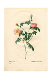 Foul-Fruited Rose, Rosa Collina Variety Giclee Print by Pierre-Joseph Redouté