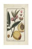 Peach Tree, Prunus Persica Giclee Print