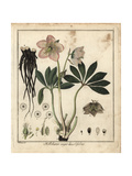 Christmas Rose or Black Hellebore, Helleborus Niger Humilifolius Giclee Print by F. Guimpel