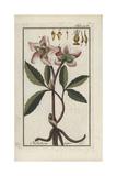 Christmas Rose or Black Hellebore, Helleborus Niger Giclee Print
