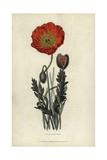 Scarlet Naked-Stalked Poppy, Papaver Nudicaule Coccinea Giclee Print by William Clark