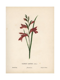 Sword Flag, Gladiolus Atroviolaceus Giclee Print by Hannah Zeller