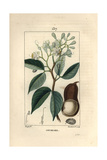 Locust Tree, Hymenaea Courbaril Giclee Print by Pierre Turpin