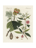 Tulip Tree, Liriodendron Tulipifera, and Star Anise, Illicium Anisatum Giclee Print