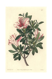 Variegated Azalea, Rhododendron Indicum Sweet Var Variegata Giclee Print by Sarah Drake