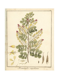 Logwood or Campeche Tree, Haematoxylum Campechianum Giclee Print by F. Guimpel