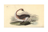 Swan Goose, Anser Cygnoides, Vulnerable Giclee Print by Edward Donovan