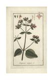 Oregano, Origanum Vulgare Giclee Print