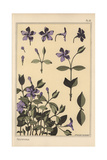 Periwinkle Botanical Study Giclee Print by Eugene Grasset