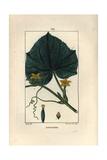 Cucumber, Cucumis Sativa Giclee Print by Pierre Turpin