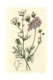 Three-Coloured Gilia or Birds Eyes, Gilia Tricolor Giclee Print by Sarah Drake
