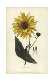 Purpledisk Sunflower, Helianthus Atrorubens Giclee Print by William Clark