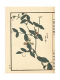 Itachi Sasage, Lathyrus Davidii Giclee Print by Bairei Kono