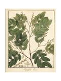 Diesel or Kerosene Tree, Copaifera Langsdorffii Var Laxa Giclee Print by F. Guimpel