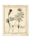 Pasque Flower, Pulsatilla Vulgaris Giclee Print by F. Guimpel