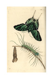 Green-Banded Urania, Urania Leilus, Butterfly, Caterpillar and Pupa Giclee Print by Richard Nodder