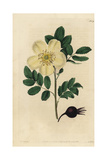 Yellow American Rose, Rosa Lutescens, with Rosehip Giclee Print by John Lindley