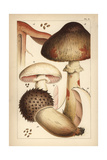 Bleeding Mushroom and Field Mushrooms Giclee Print by Mordecai Cubitt Cooke