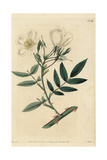 Himalayan Musk Rose, Rosa Brunonii Giclee Print by John Lindley