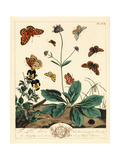 Fritillary and Other Moths on Devil's Bit Scabious Giclee Print by Moses Harris