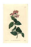 Bristly or Pink Honeysuckle, Lonicera Hispidula Giclee Print by Sarah Drake