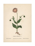 Palestine Scabious, Scabiosa Palaestina Giclee Print by Hannah Zeller