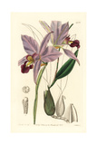 Two-Edged Laelia Orchid, Laelia Anceps Giclee Print by Sarah Drake
