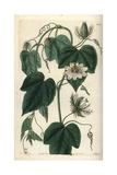 Stinking Passionflower, Passiflora Foetida Var Gossypiifolia Giclee Print by Sarah Drake