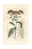 Tansy, Tanacetum Vulgare Giclee Print by Pierre Turpin