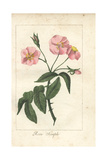 Pink Dog Rose, Rosa Canina Giclee Print by Mlle. Prudhomme
