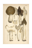 Morel, Saddle and Helvella Mushrooms Giclee Print by Mordecai Cubitt Cooke