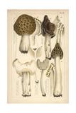 Morel, Saddle and Helvella Mushrooms Giclee Print by Mordecai Cubitt Cooke