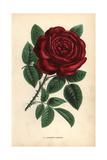 Lamotte Sanguin Rose, Crimson Hybrid Giclee Print by Francois Grobon