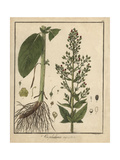 Water Figwort, Scrophularia Aquatica Giclee Print by F. Guimpel