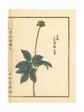 Tochiba Ninjin or Japanese Ginseng, Panax Japonicus Giclee Print by Bairei Kono