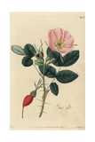 Prickly Rose, Rosa Acicularis Giclee Print by John Lindley