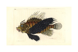 Red Lionfish, Pterois Volitans Giclee Print by Richard Nodder