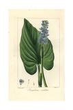 Pickerel Weed, Pontederia Cordata Giclée-Druck von Pancrace Bessa