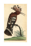 Hoopoe, Upupa Epops Reproduction procédé giclée par Richard Nodder