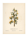 Prickly Broom, Calycotome Spinosa Giclee Print by Hannah Zeller