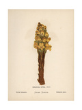 Yellow Orobanche, Cistanche Phelypaea, Rare Broomrape Giclee Print by Hannah Zeller