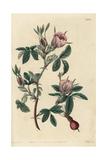 Cinnamon Rose, Rosa Cinnamomea Giclee Print by John Lindley