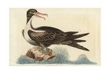 Frigate Bird, Fregata Magnificens Impression giclée par George Edwards