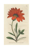 Rigid Leaved Gorteria, Gazania Rigens Giclee Print by James Sowerby