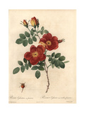 Austrian Copper Rose, Rosa Foetida Var Bicolor Giclee Print by Pierre-Joseph Redoute