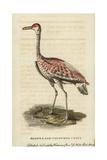Sandhill Crane, Grus Canadensis Giclee Print by George Edwards